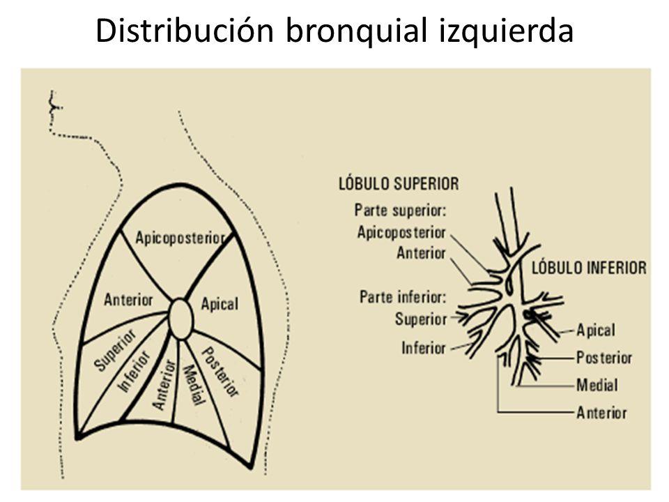 Distribución bronquial izquierda