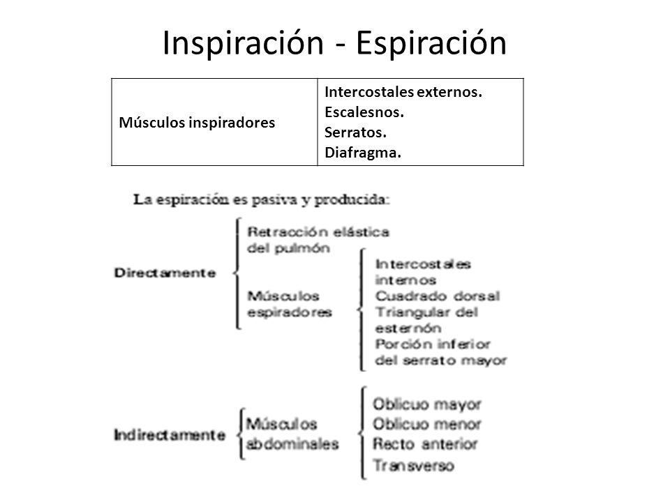 Inspiración - Espiración Músculos inspiradores Intercostales externos. Escalesnos. Serratos. Diafragma.