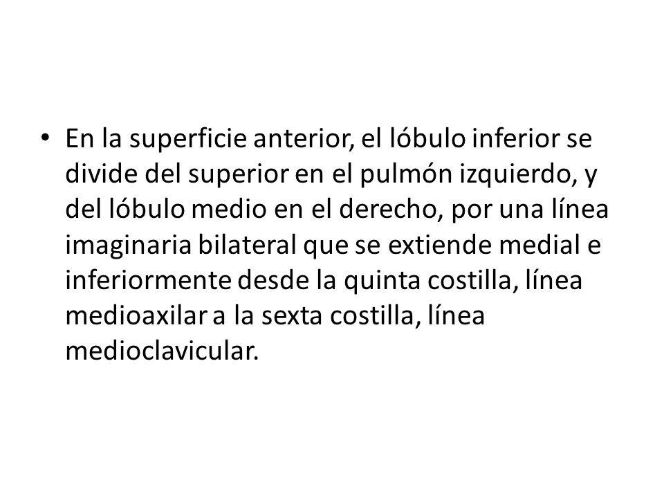 En la superficie anterior, el lóbulo inferior se divide del superior en el pulmón izquierdo, y del lóbulo medio en el derecho, por una línea imaginari