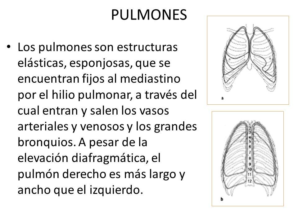 PULMONES Los pulmones son estructuras elásticas, esponjosas, que se encuentran fijos al mediastino por el hilio pulmonar, a través del cual entran y s