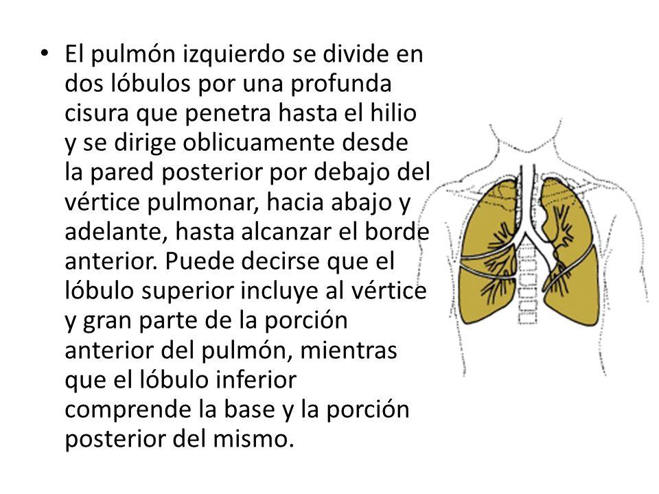 El pulmón izquierdo se divide en dos lóbulos por una profunda cisura que penetra hasta el hilio y se dirige oblicuamente desde la pared posterior por