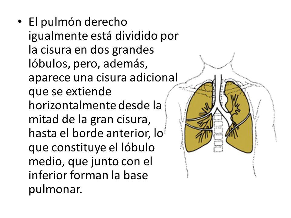El pulmón derecho igualmente está dividido por la cisura en dos grandes lóbulos, pero, además, aparece una cisura adicional que se extiende horizontal