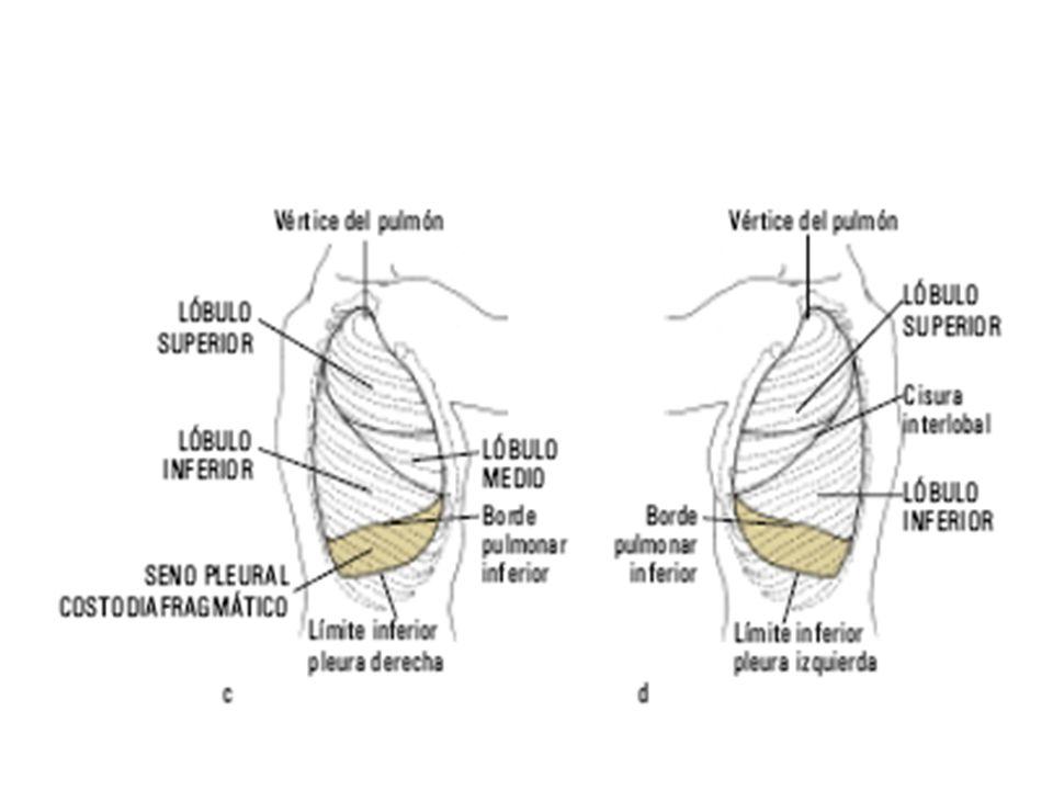 La localización aproximada de las cisuras que dividen los pulmones en lóbulos puede determinarse observando las siguientes líneas de demarcación: Posteriormente, los pulmones se dividen en los lóbulos superior e inferior en un ángulo unido a la apófisis espinosa de T-3, oblicuamente hacia abajo y lateralmente.