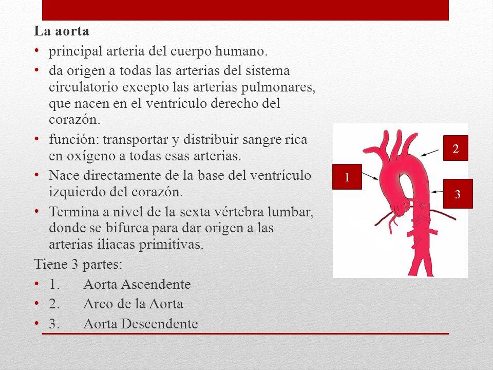 La aorta principal arteria del cuerpo humano. da origen a todas las arterias del sistema circulatorio excepto las arterias pulmonares, que nacen en el