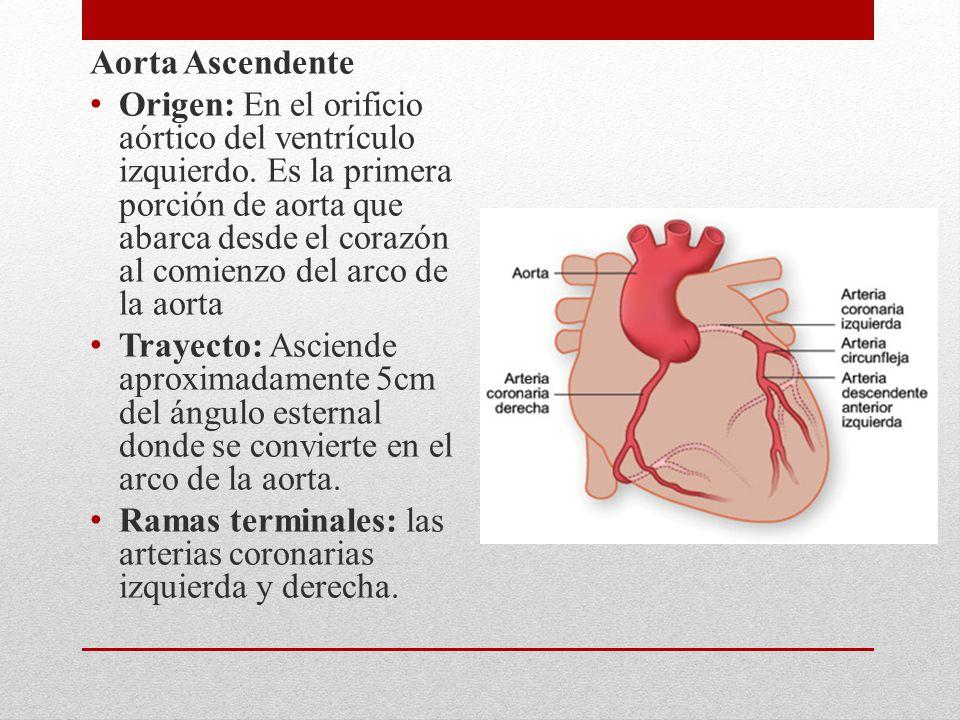 Aorta Ascendente Origen: En el orificio aórtico del ventrículo izquierdo. Es la primera porción de aorta que abarca desde el corazón al comienzo del a