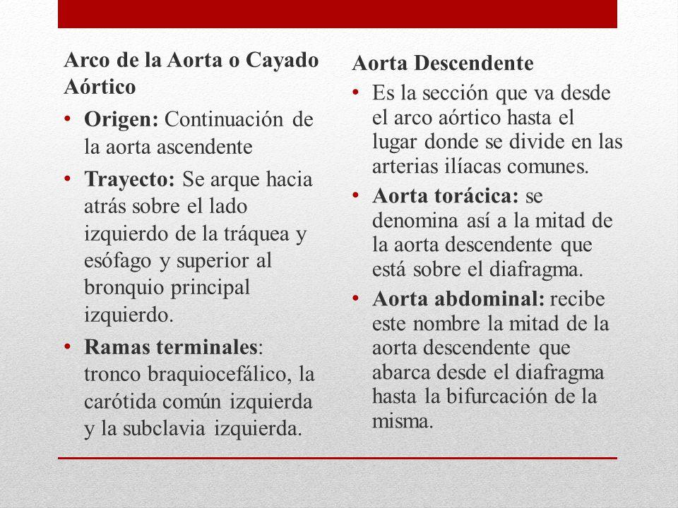 Arco de la Aorta o Cayado Aórtico Origen: Continuación de la aorta ascendente Trayecto: Se arque hacia atrás sobre el lado izquierdo de la tráquea y esófago y superior al bronquio principal izquierdo.