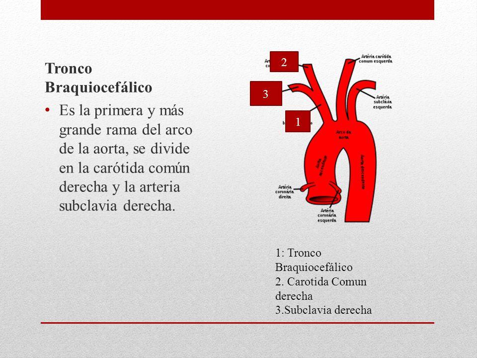 Tronco Braquiocefálico Es la primera y más grande rama del arco de la aorta, se divide en la carótida común derecha y la arteria subclavia derecha.