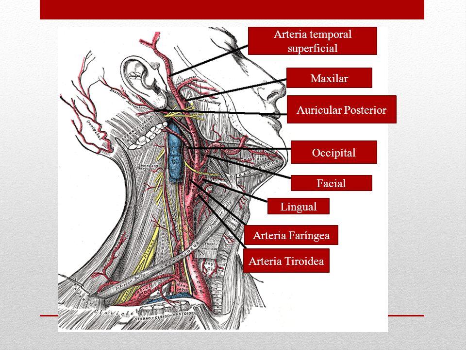 Arteria temporal superficial Maxilar Auricular Posterior Occipital Facial Lingual Arteria Faríngea Arteria Tiroidea