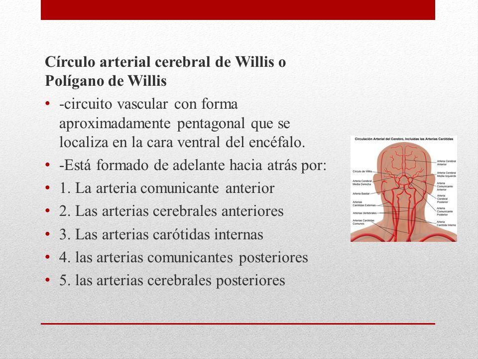 Círculo arterial cerebral de Willis o Polígano de Willis -circuito vascular con forma aproximadamente pentagonal que se localiza en la cara ventral del encéfalo.