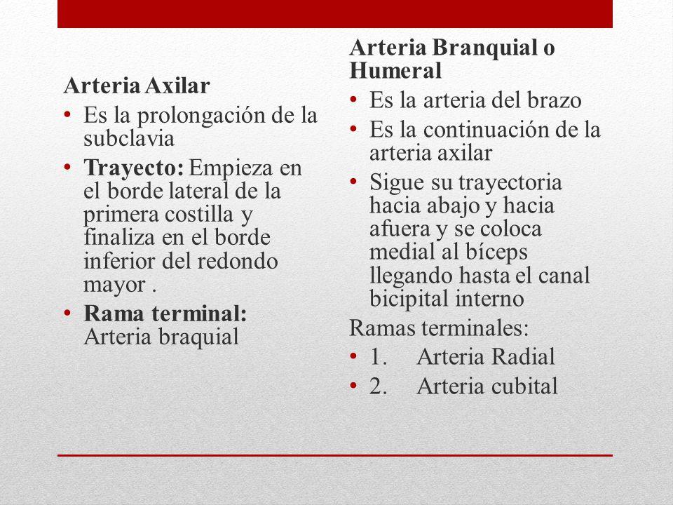 Arteria Axilar Es la prolongación de la subclavia Trayecto: Empieza en el borde lateral de la primera costilla y finaliza en el borde inferior del redondo mayor.