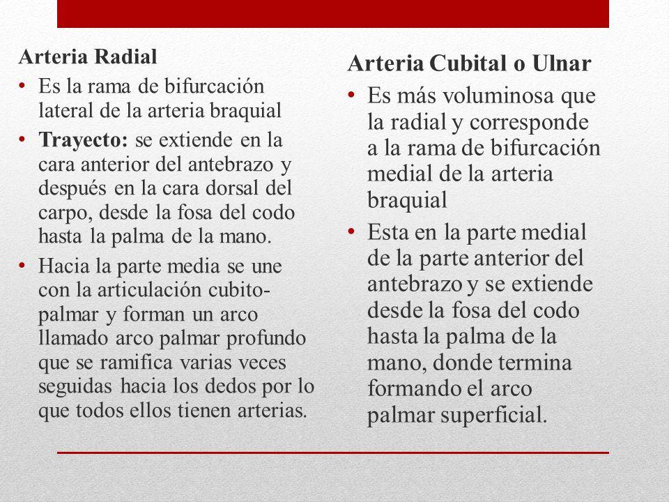 Arteria Radial Es la rama de bifurcación lateral de la arteria braquial Trayecto: se extiende en la cara anterior del antebrazo y después en la cara dorsal del carpo, desde la fosa del codo hasta la palma de la mano.