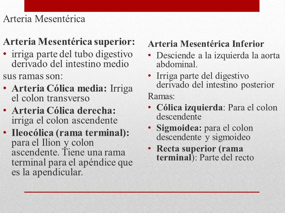 Arteria Mesentérica Arteria Mesentérica superior: irriga parte del tubo digestivo derivado del intestino medio sus ramas son: Arteria Cólica media: Ir