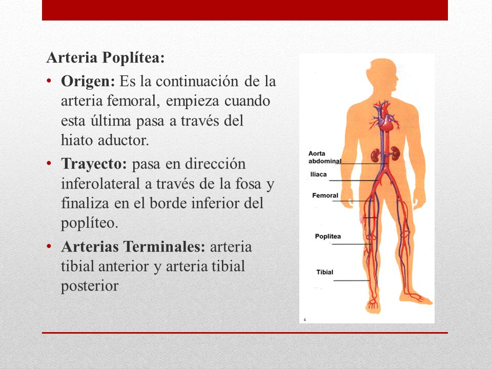Arteria Poplítea: Origen: Es la continuación de la arteria femoral, empieza cuando esta última pasa a través del hiato aductor. Trayecto: pasa en dire