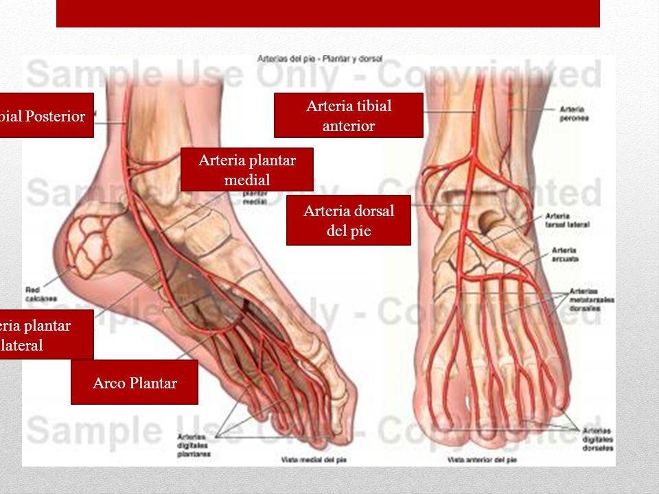 Arteria Tibial Posterior Arteria tibial anterior Arco Plantar Arteria plantar lateral Arteria plantar medial Arteria dorsal del pie