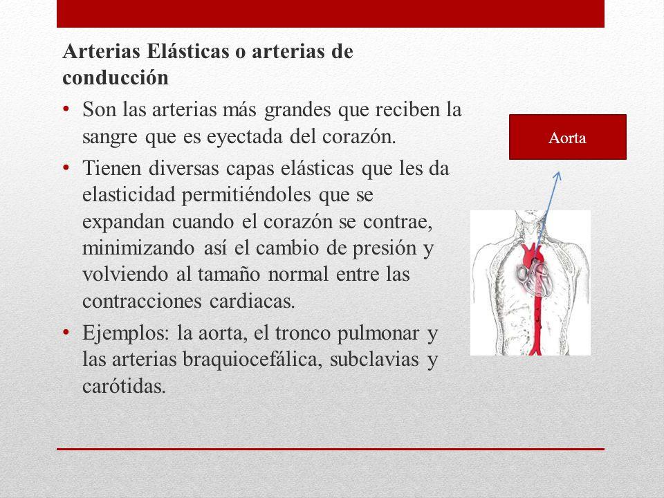 Arterias Elásticas o arterias de conducción Son las arterias más grandes que reciben la sangre que es eyectada del corazón. Tienen diversas capas elás