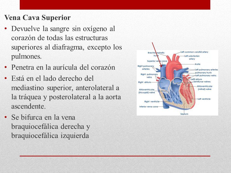 Vena Cava Superior Devuelve la sangre sin oxígeno al corazón de todas las estructuras superiores al diafragma, excepto los pulmones. Penetra en la aur