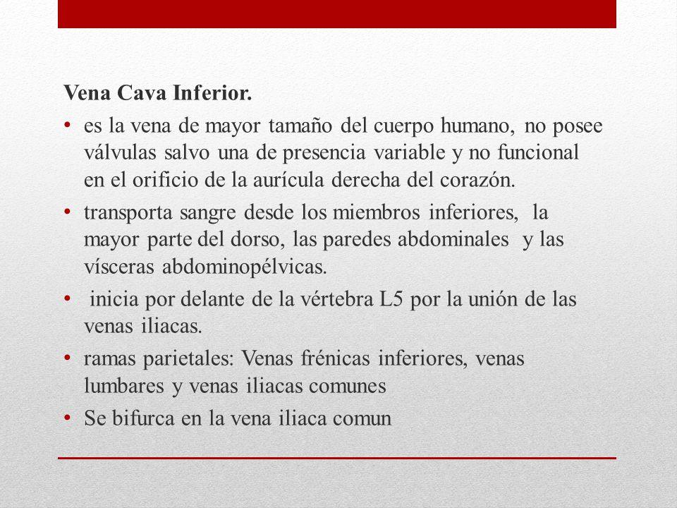 Vena Cava Inferior. es la vena de mayor tamaño del cuerpo humano, no posee válvulas salvo una de presencia variable y no funcional en el orificio de l