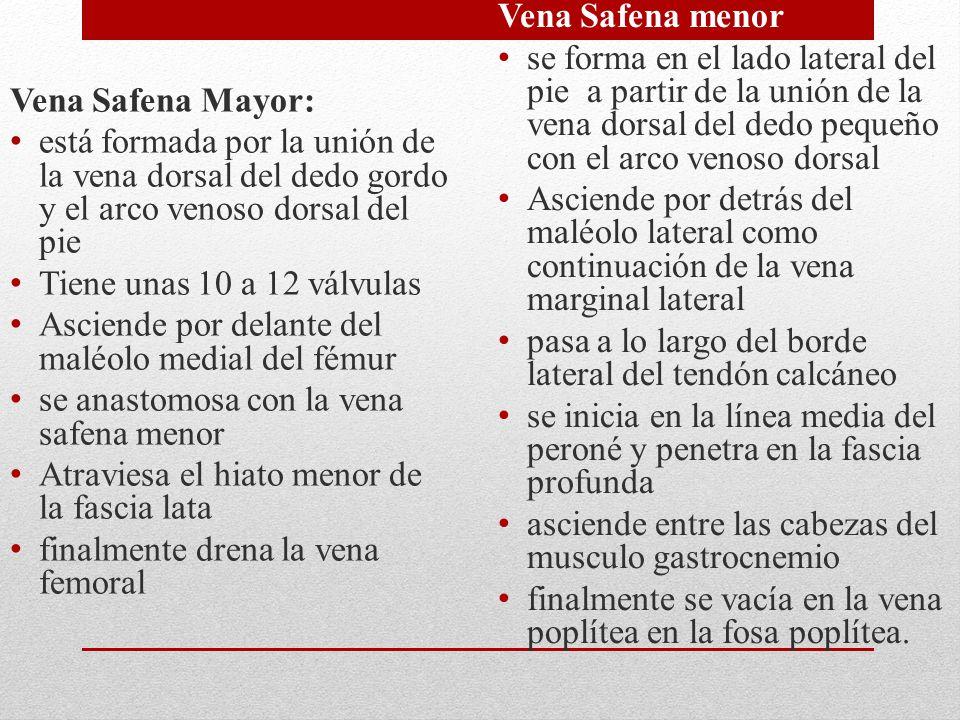 Vena Safena Mayor: está formada por la unión de la vena dorsal del dedo gordo y el arco venoso dorsal del pie Tiene unas 10 a 12 válvulas Asciende por
