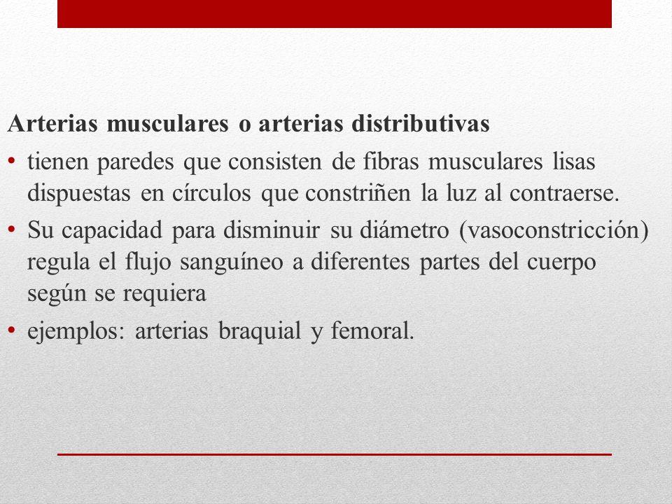 Arterias musculares o arterias distributivas tienen paredes que consisten de fibras musculares lisas dispuestas en círculos que constriñen la luz al contraerse.