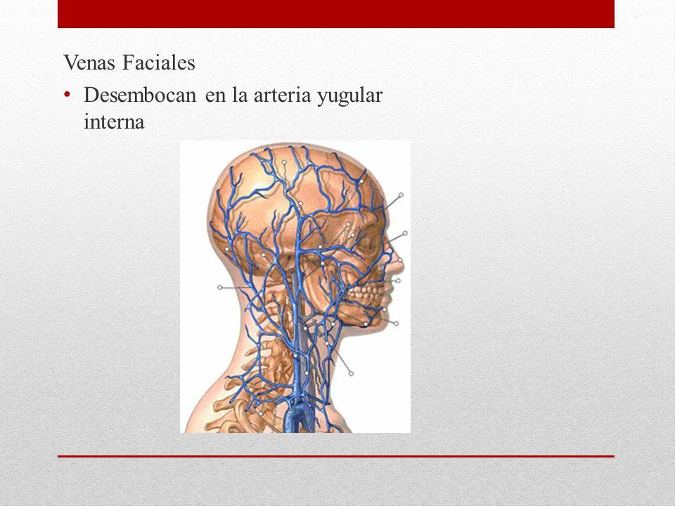 Venas Faciales Desembocan en la arteria yugular interna