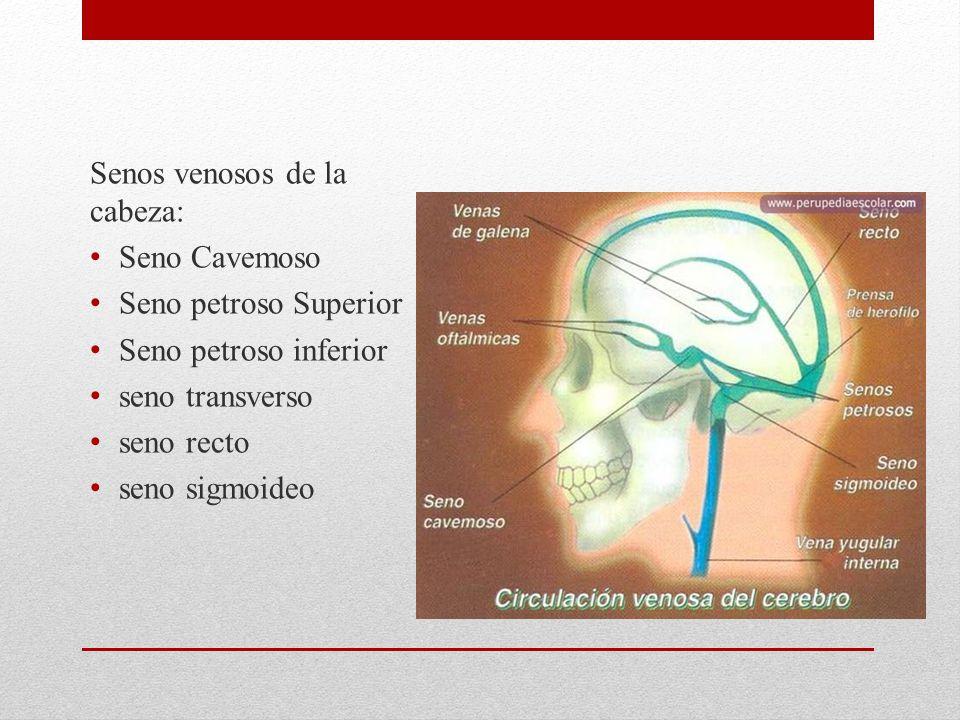 Senos venosos de la cabeza: Seno Cavemoso Seno petroso Superior Seno petroso inferior seno transverso seno recto seno sigmoideo
