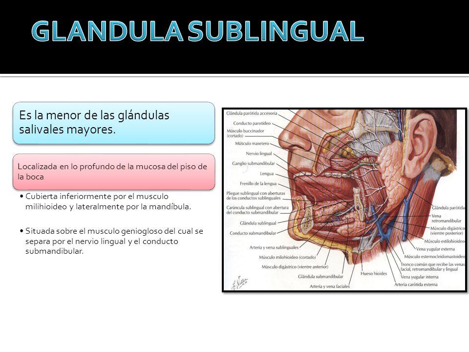 Es la menor de las glándulas salivales mayores. Localizada en lo profundo de la mucosa del piso de la boca Cubierta inferiormente por el musculo milih