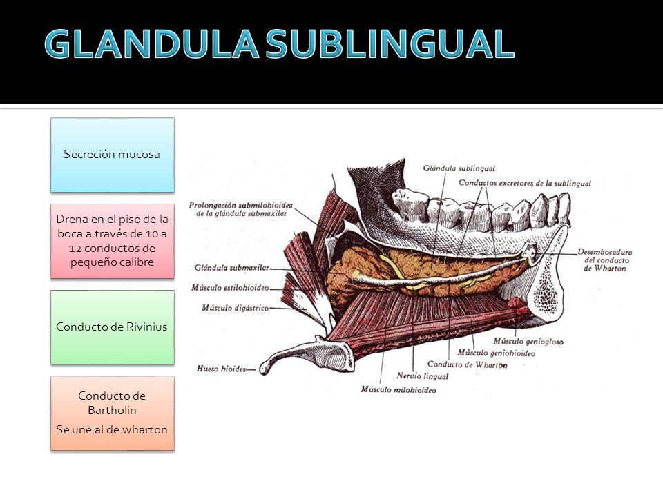 Secreción mucosa Drena en el piso de la boca a través de 10 a 12 conductos de pequeño calibre Conducto de Rivinius Conducto de Bartholin Se une al de
