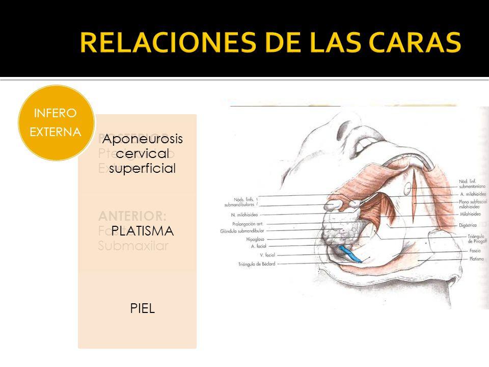 POSTERIOR: Pterigoideo Externo ANTERIOR: Fosita Submaxilar SUPERO EXTERNA Aponeurosis cervical superficial PLATISMA PIEL INFERO EXTERNA