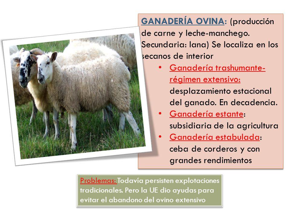 GANADERÍA OVINA: (producción de carne y leche-manchego. Secundaria: lana) Se localiza en los secanos de interior Ganadería trashumante- régimen extens