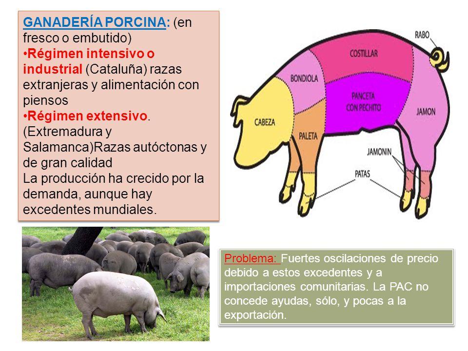 GANADERÍA PORCINA: (en fresco o embutido) Régimen intensivo o industrial (Cataluña) razas extranjeras y alimentación con piensos Régimen extensivo. (E