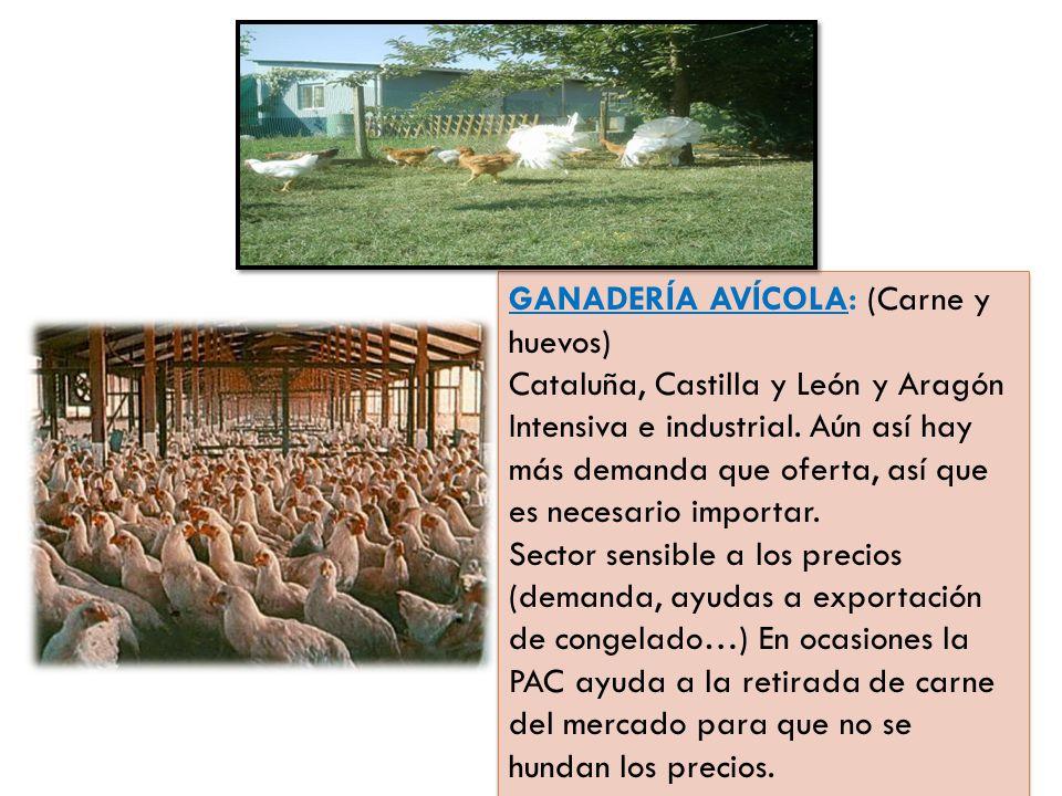 GANADERÍA AVÍCOLA: (Carne y huevos) Cataluña, Castilla y León y Aragón Intensiva e industrial. Aún así hay más demanda que oferta, así que es necesari