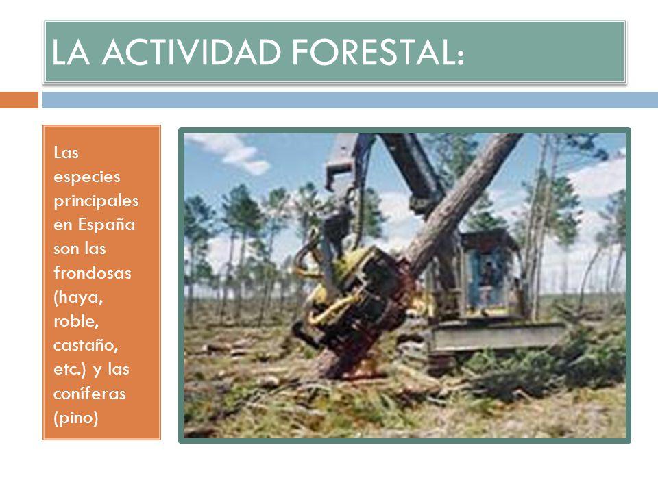 LA ACTIVIDAD FORESTAL: Las especies principales en España son las frondosas (haya, roble, castaño, etc.) y las coníferas (pino)