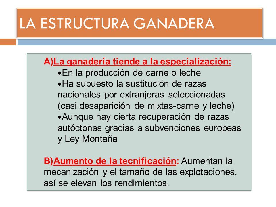 LA ESTRUCTURA GANADERA A)La ganadería tiende a la especialización: En la producción de carne o leche Ha supuesto la sustitución de razas nacionales po