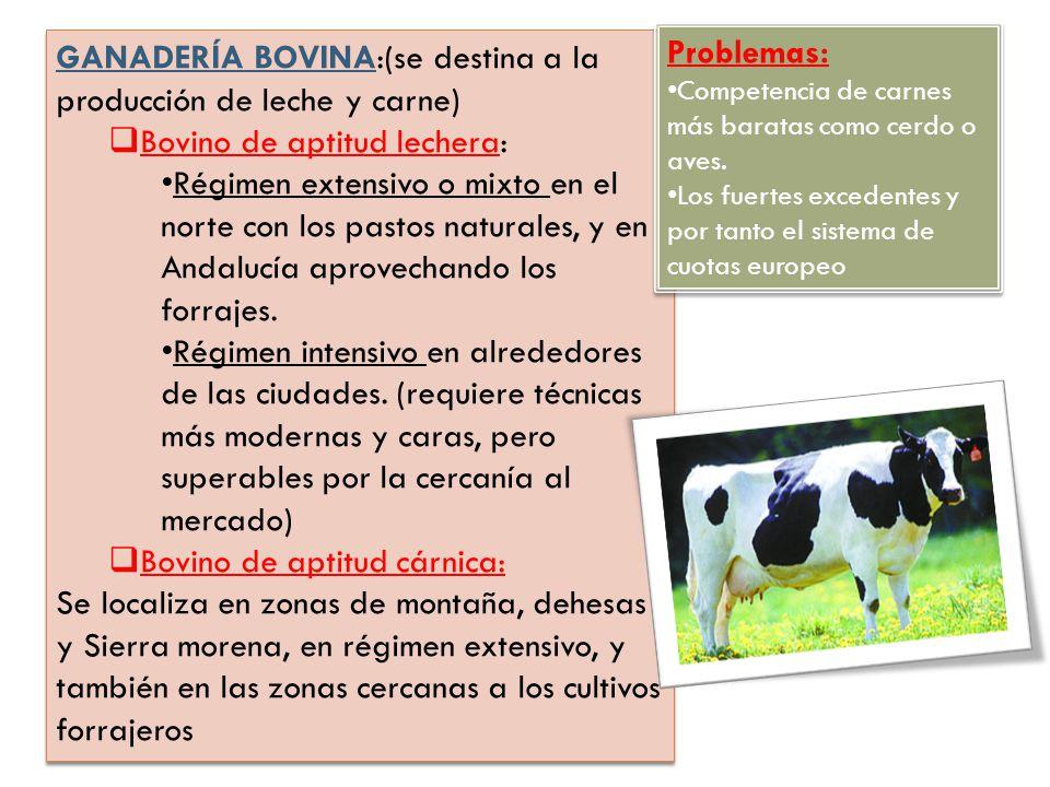 GANADERÍA BOVINA:(se destina a la producción de leche y carne) Bovino de aptitud lechera: Régimen extensivo o mixto en el norte con los pastos natural