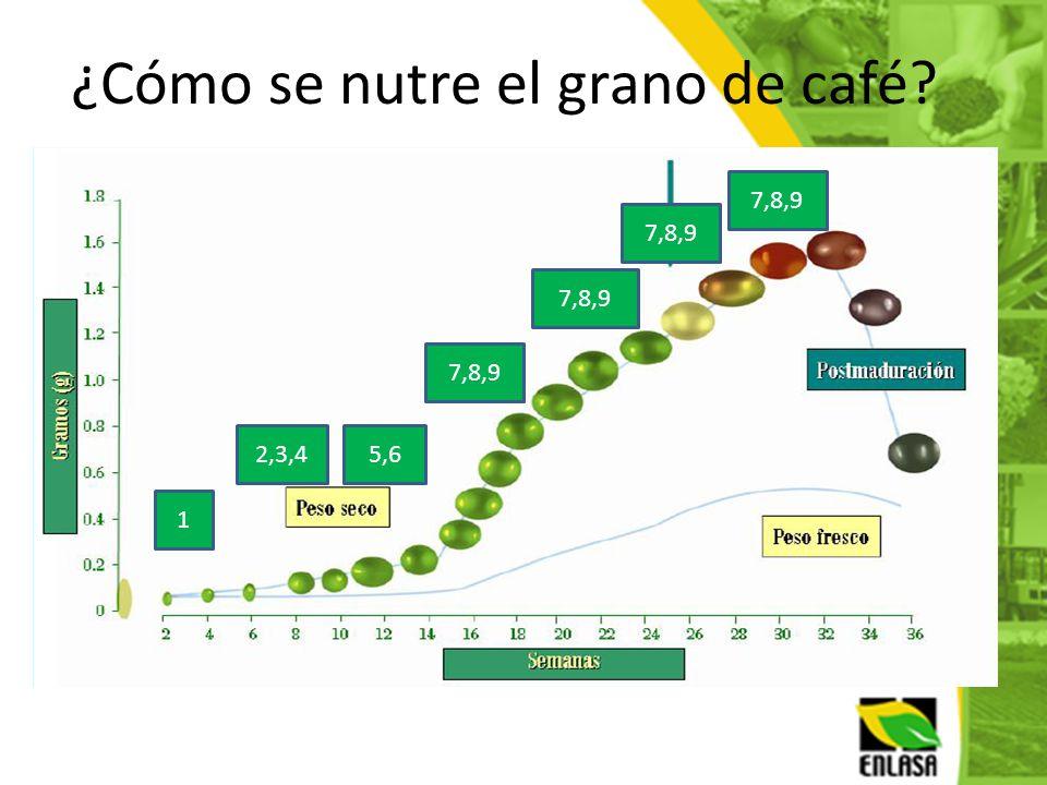 1 2,3,4 7,8,9 5,6 7,8,9 ¿Cómo se nutre el grano de café?