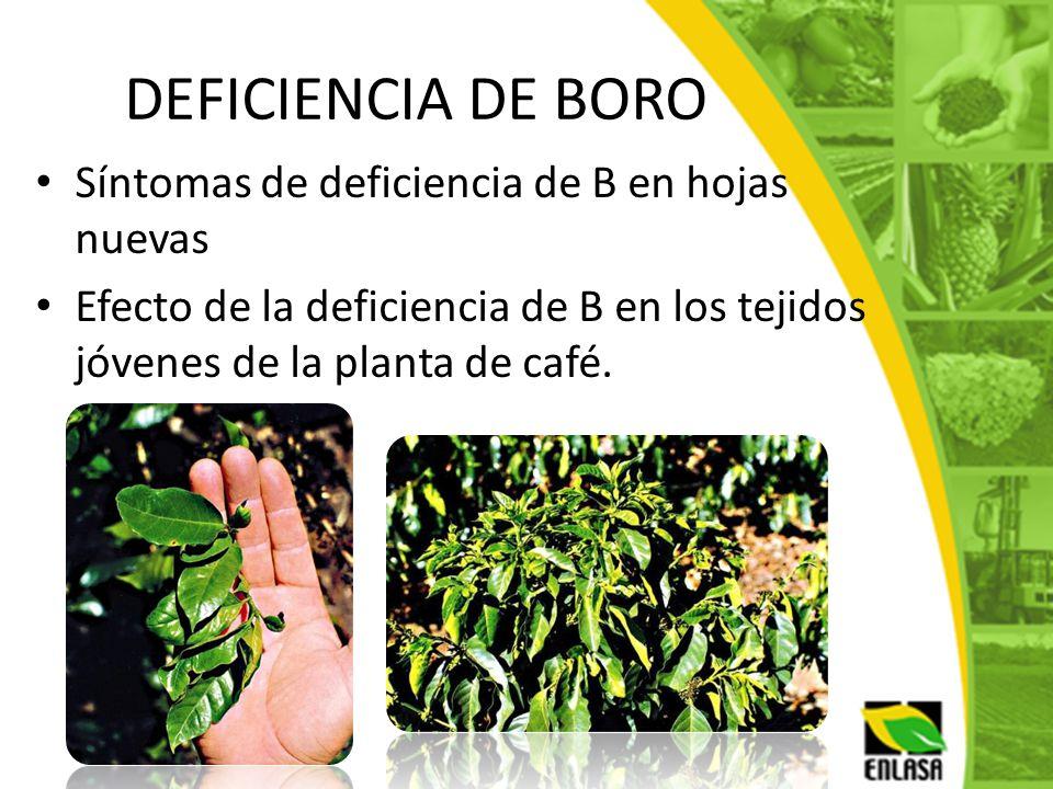 DEFICIENCIA DE BORO Síntomas de deficiencia de B en hojas nuevas Efecto de la deficiencia de B en los tejidos jóvenes de la planta de café.