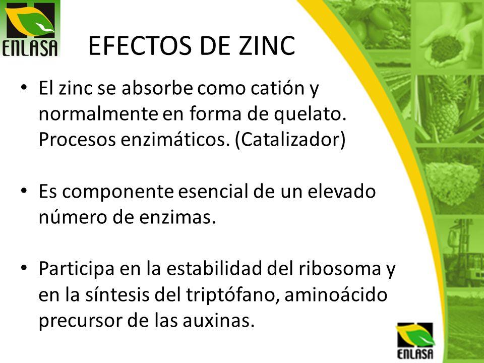 EFECTOS DE ZINC El zinc se absorbe como catión y normalmente en forma de quelato. Procesos enzimáticos. (Catalizador) Es componente esencial de un ele