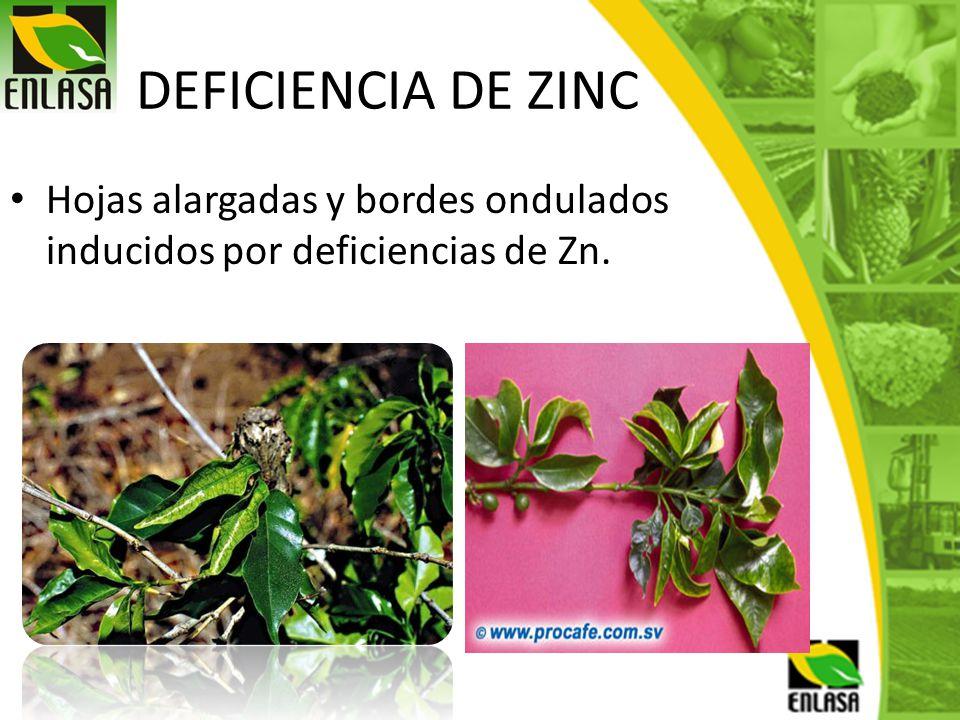 DEFICIENCIA DE ZINC Hojas alargadas y bordes ondulados inducidos por deficiencias de Zn.