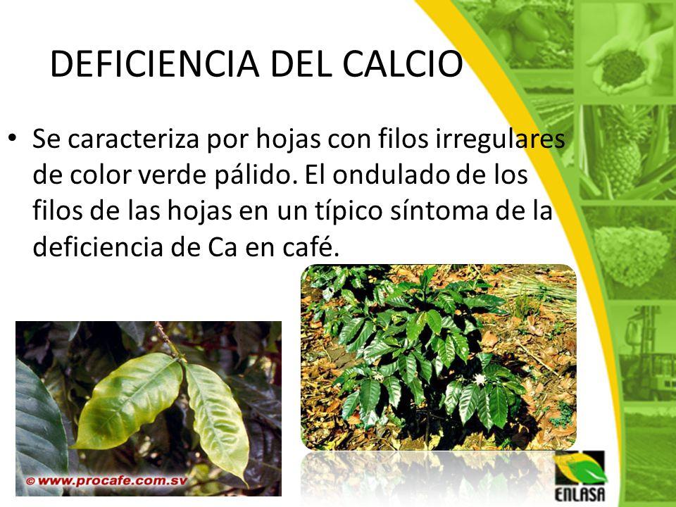DEFICIENCIA DEL CALCIO Se caracteriza por hojas con filos irregulares de color verde pálido. El ondulado de los filos de las hojas en un típico síntom