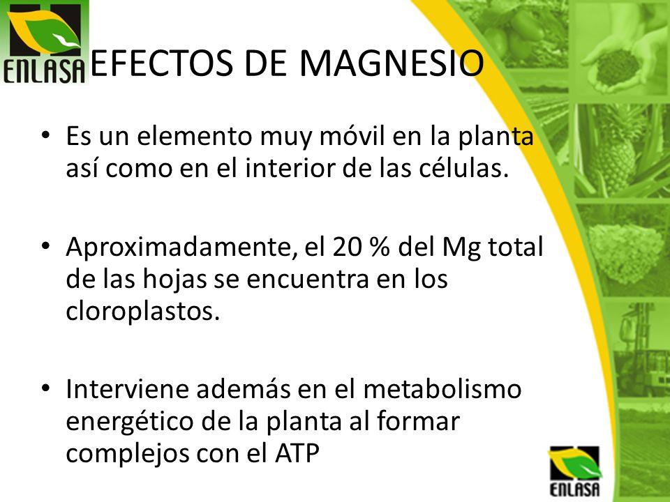 EFECTOS DE MAGNESIO Es un elemento muy móvil en la planta así como en el interior de las células. Aproximadamente, el 20 % del Mg total de las hojas s
