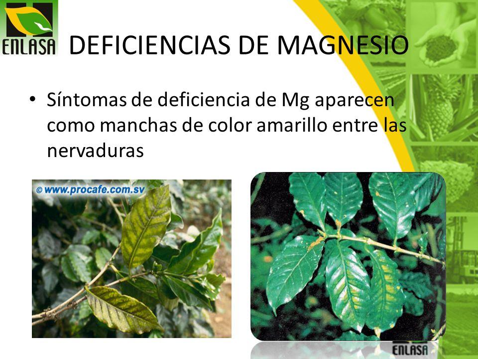 DEFICIENCIAS DE MAGNESIO Síntomas de deficiencia de Mg aparecen como manchas de color amarillo entre las nervaduras
