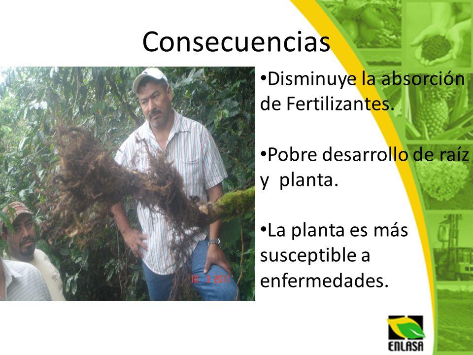 Consecuencias Disminuye la absorción de Fertilizantes. Pobre desarrollo de raíz y planta. La planta es más susceptible a enfermedades.