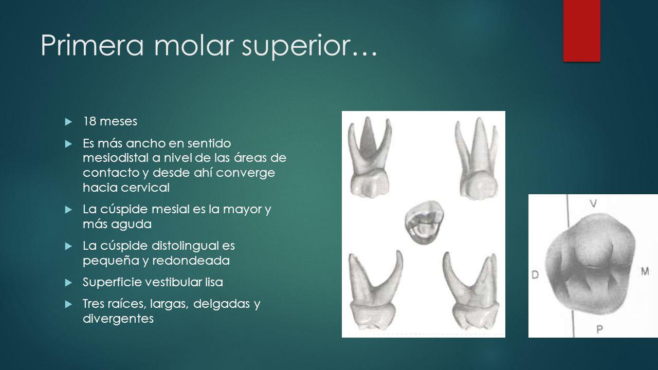 Primera molar superior… 18 meses Es más ancho en sentido mesiodistal a nivel de las áreas de contacto y desde ahí converge hacia cervical La cúspide m