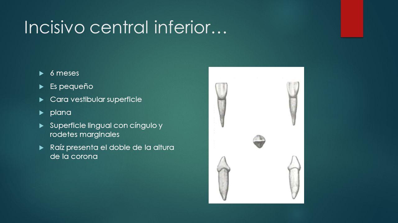 Incisivo central inferior… 6 meses Es pequeño Cara vestibular superficie plana Superficie lingual con cíngulo y rodetes marginales Raíz presenta el do