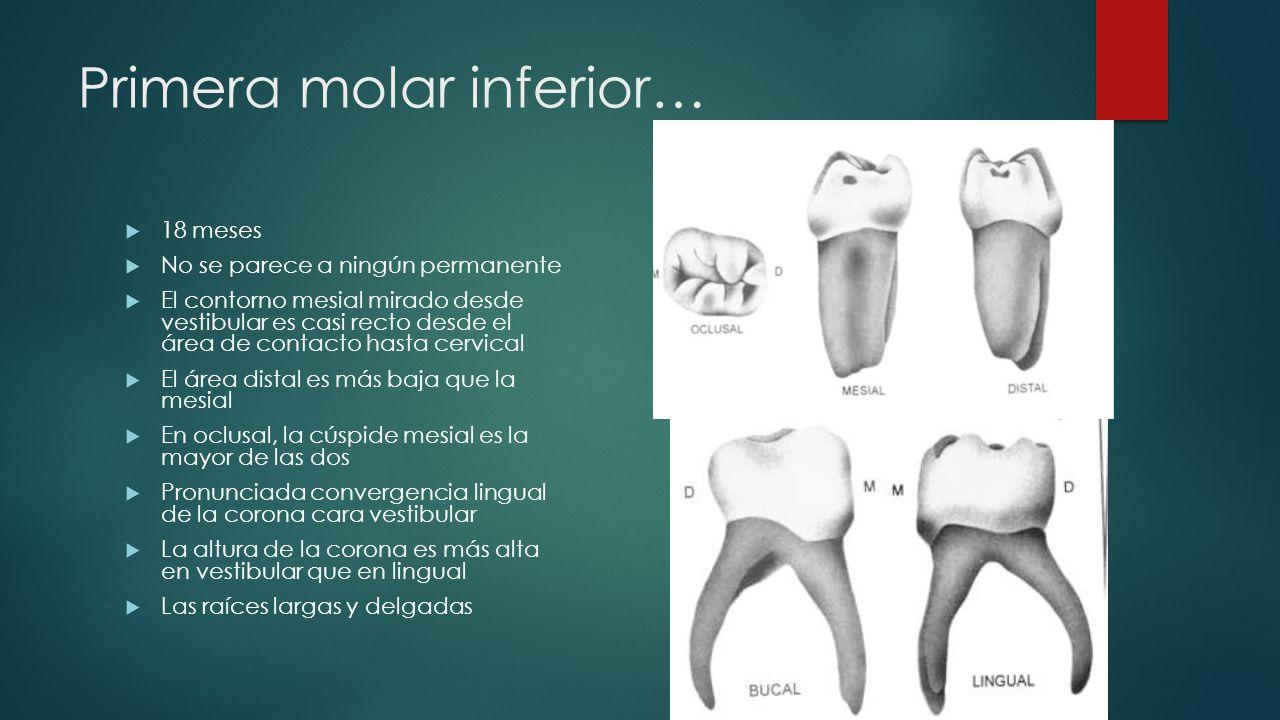Primera molar inferior… 18 meses No se parece a ningún permanente El contorno mesial mirado desde vestibular es casi recto desde el área de contacto h