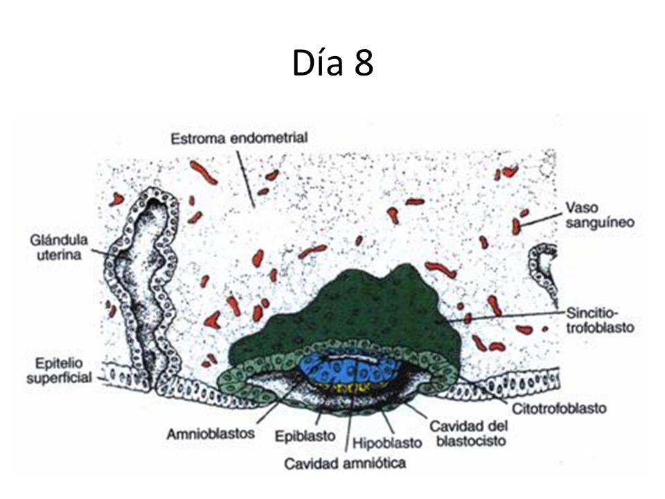 Día 8 Trofoblasto: dos capas – Citotrofoblasto – Sincitiotrofoblasto Embrioblasto: dos capas – Capa epiblástica Se forma una pequeña cavidad Células a