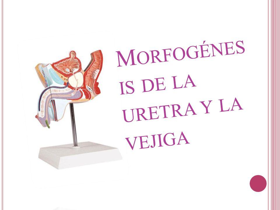 M ORFOGÉNES IS DE LA URETRA Y LA VEJIGA