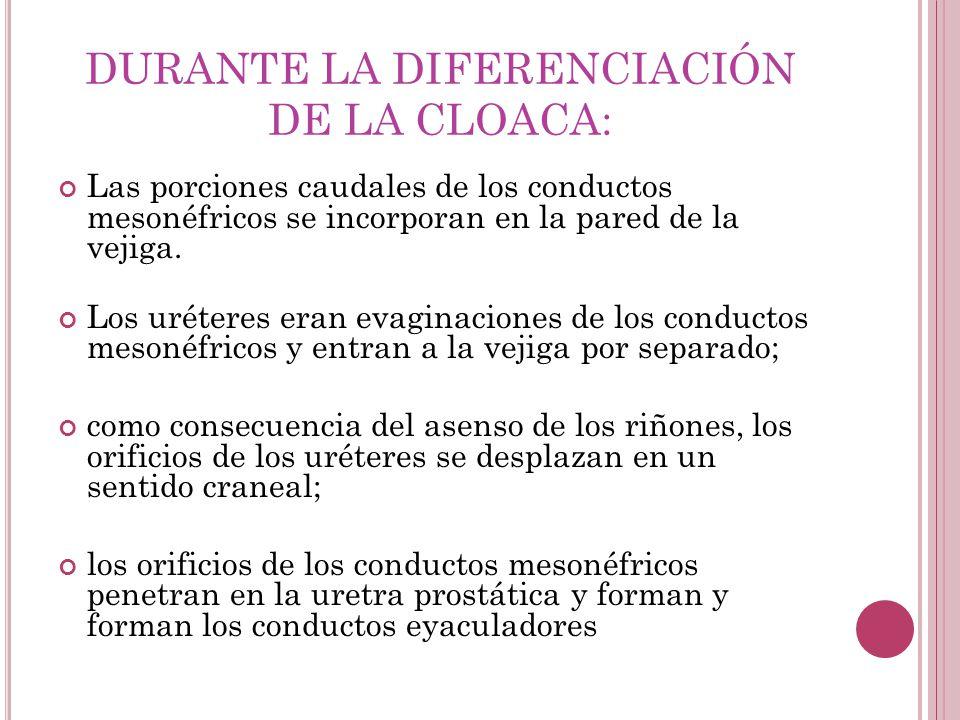 DURANTE LA DIFERENCIACIÓN DE LA CLOACA: Las porciones caudales de los conductos mesonéfricos se incorporan en la pared de la vejiga. Los uréteres eran