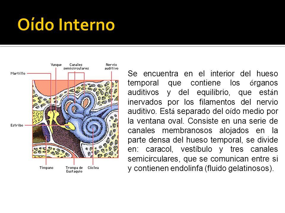 Se encuentra en el interior del hueso temporal que contiene los ó rganos auditivos y del equilibrio, que est á n inervados por los filamentos del nerv