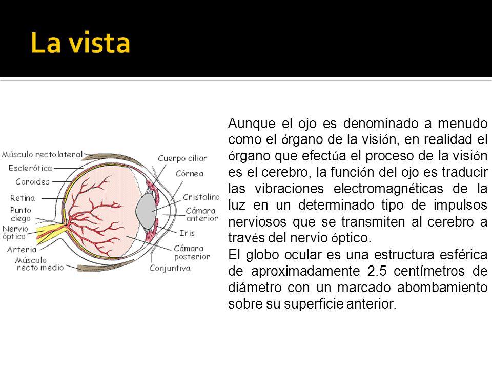 Aunque el ojo es denominado a menudo como el ó rgano de la visi ó n, en realidad el ó rgano que efect ú a el proceso de la visi ó n es el cerebro, la